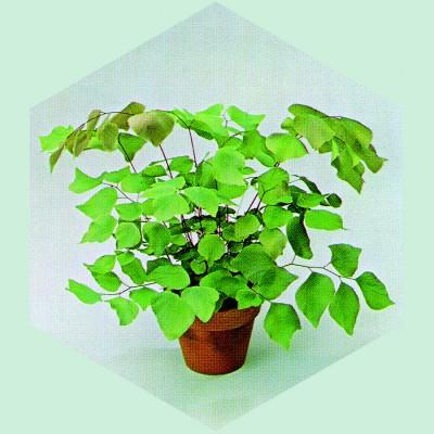 Adiantum hispidulum Peruvianum