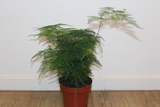 Asparagus Plumosis setacea