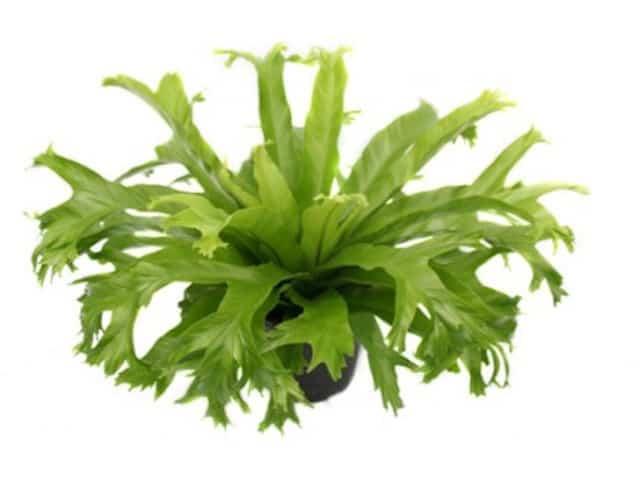 Asplenium nidus Crissie