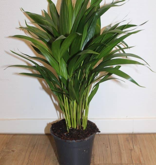 Areca – Chrysalidocarpus lutescens