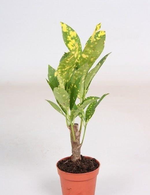 Codiaeum variegatum Aucubifolia