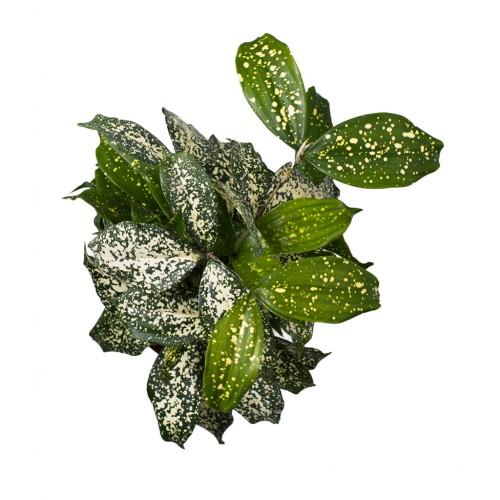 Dracaena Godseffiana Surculosa variegata