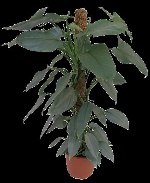 Philodendron erubescens Gray