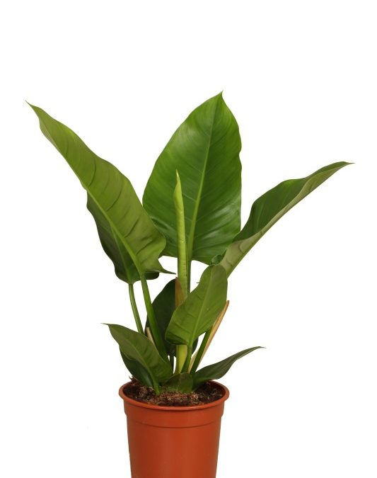 Philodendron erubescens Imperial Green