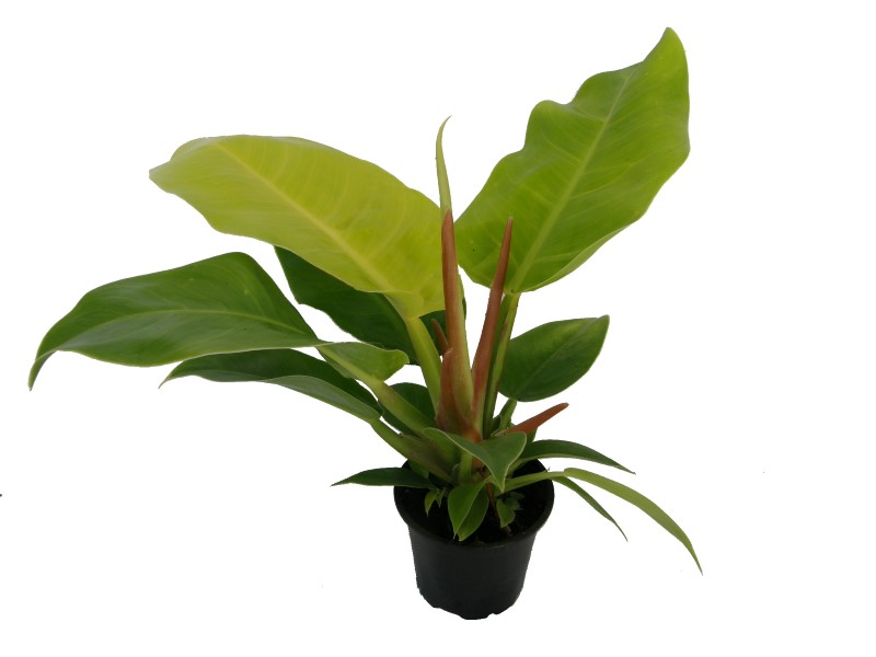 Philodendron erubescens Moonlight